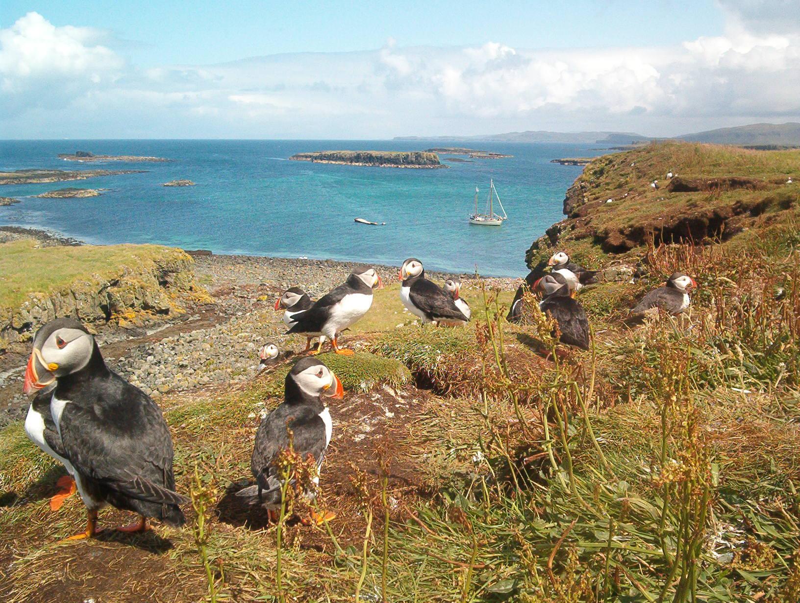 papegaaiduikers-aan-westkust-schotland